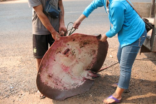 fresh-water-stingray-fish-Vientiane-Laos.jpg