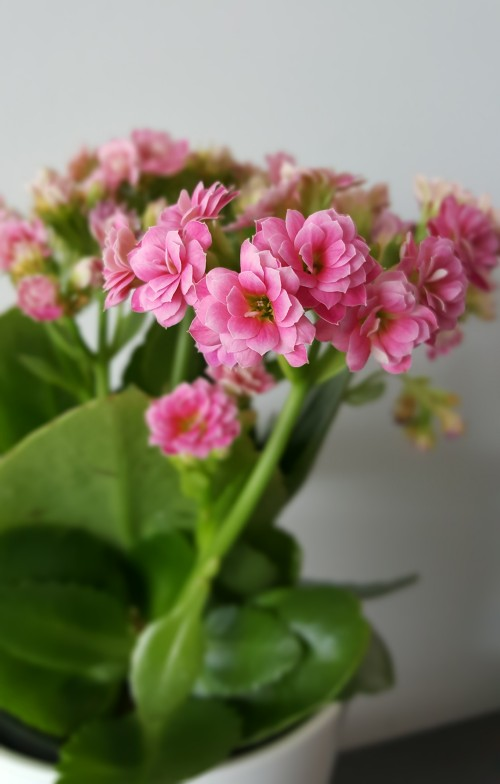 pink-kalanchoe-close-up.jpg