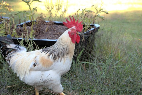 rooster-strutting-around-the-farm.jpg