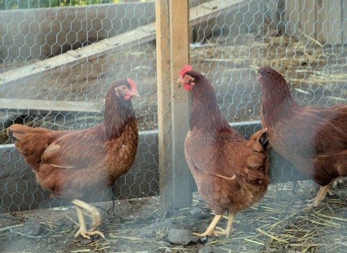 three-hens-in-a-coop.jpg