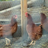 three-hens-in-a-coop
