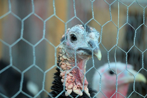 Turkey watching you and being curious.  This bird is usually eaten during the holidays, Thanksgiving and Christmas.