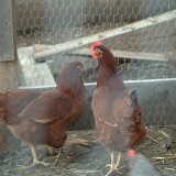 two-hens-in-a-coop