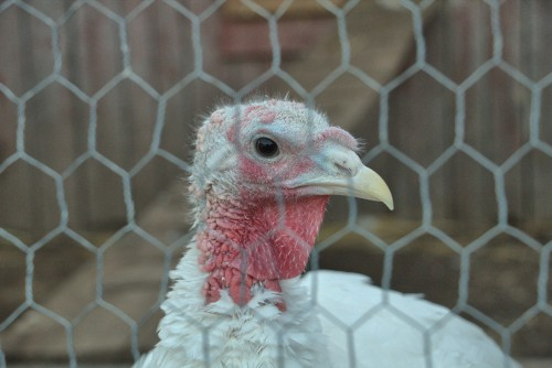 white-turkey-watching-you-over.jpg