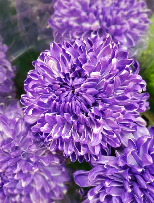purple-dahlia-flower.jpg