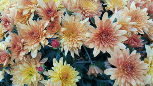 Fading-beauty-Hardy-Chrysanthemums.jpg