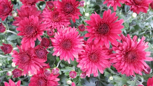Hardy-Chrysanthemums-in-red-color.jpg