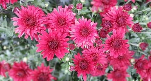 Strong-and-beautiful-Hardy-Chrysanthemums.jpg