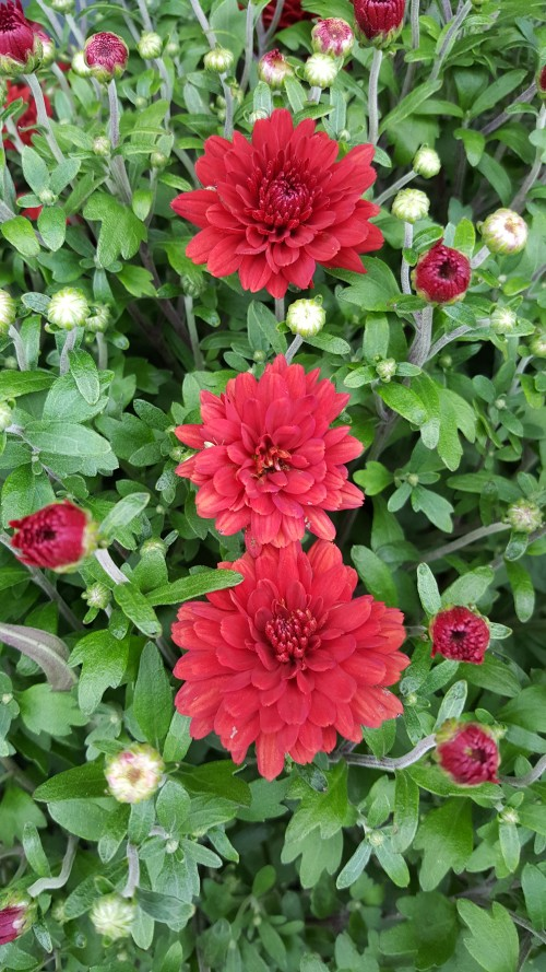 Three-Red-Hardy-Chrysanthemums.jpg