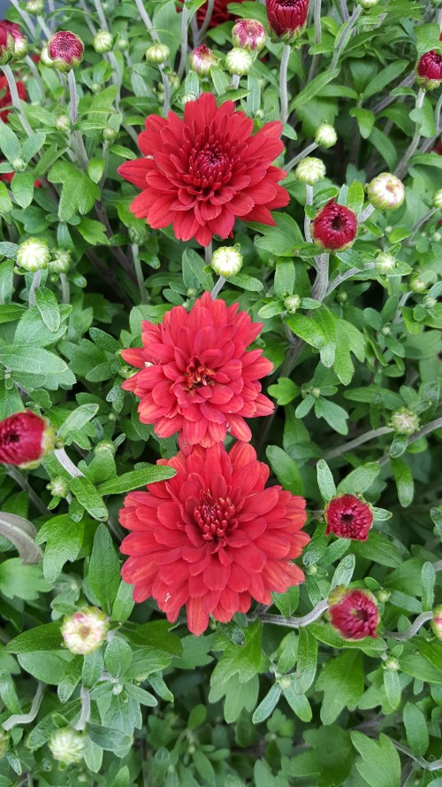 Trinity-red-Hardy-Chrysanthemums.jpg
