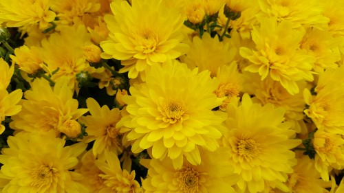 Yellow-Chrysanthemums.jpg