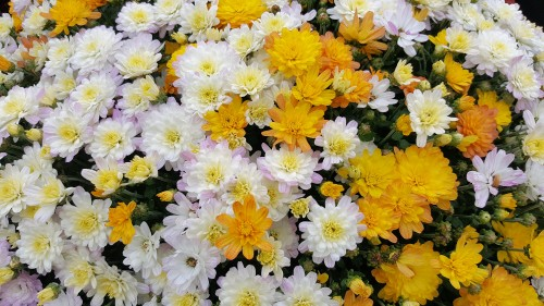Yellow-white-mixed-Chrysanthemums.jpg