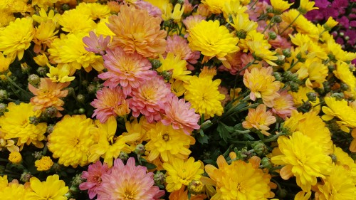 Yellowish-pink-Chrysanthemums.jpg