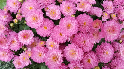 beautiful-pink-Chrysanthemums.jpg