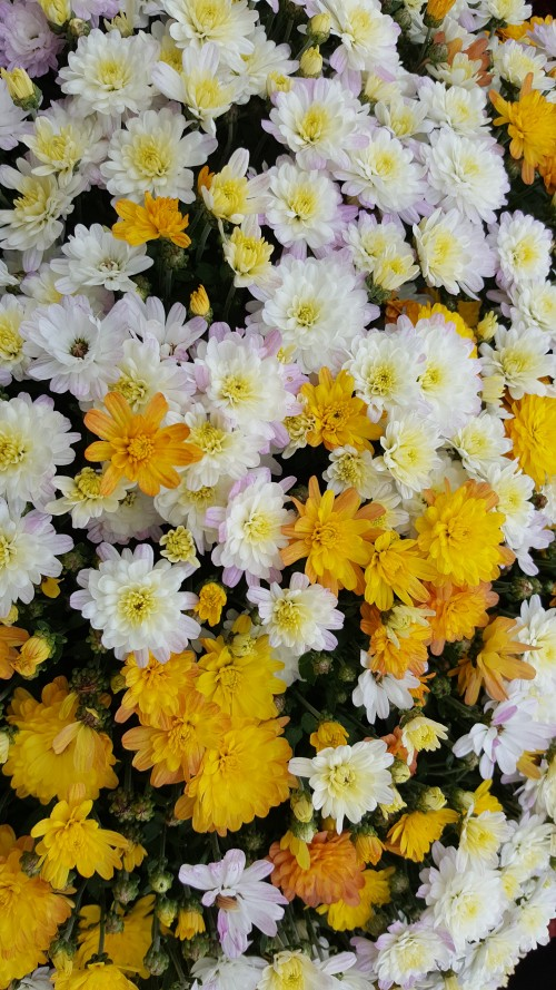 mixed-white-and-yellow-Chrysanthemums.jpg