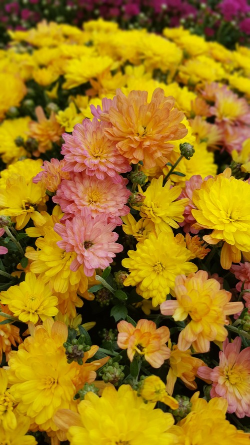 pink-yellowish-Chrysanthemums.jpg