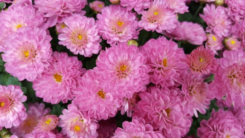 pinkish-Chrysanthemums.jpg