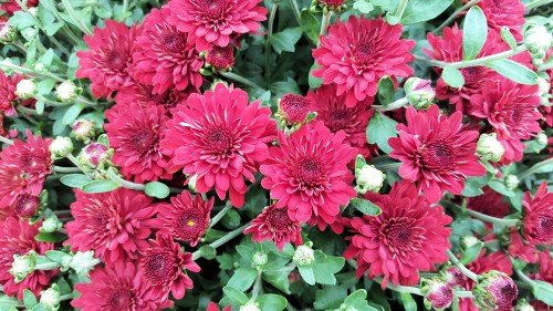 red-Chrysanthemums.jpg