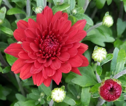 single-red-Hardy-Chrysanthemums.jpg