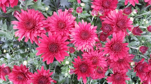 strong-beautiful-Chrysanthemums.jpg