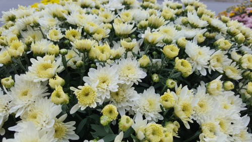 white-Chrysanthemums.jpg