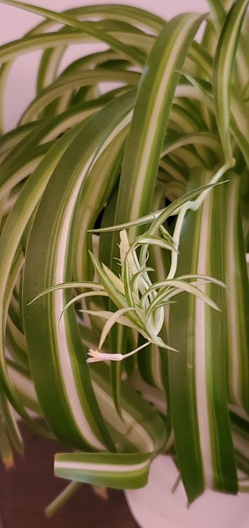 This plant is actually called the spider plant, but I like to call it an oxygen plant as they like to suck up carbon monoxide.  Great for your living room or kitchen, they will make a calming to your mind as you look at it.